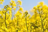 Farben des Frühlings: gelb und blau, Rapsfeld unter blauem Himmel :) - 203706086