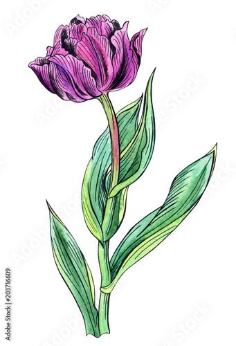 fioletowy-tulipan-rysunek-odreczny-z-konturem-na-bialym-tle