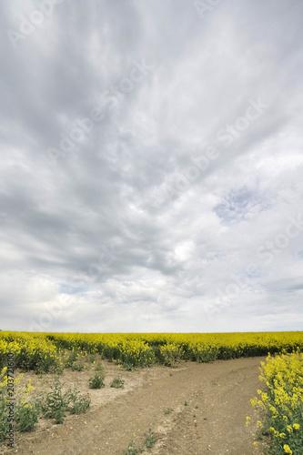 Foto Murales Chemin de terre au milieu de champ de colza en fleurs