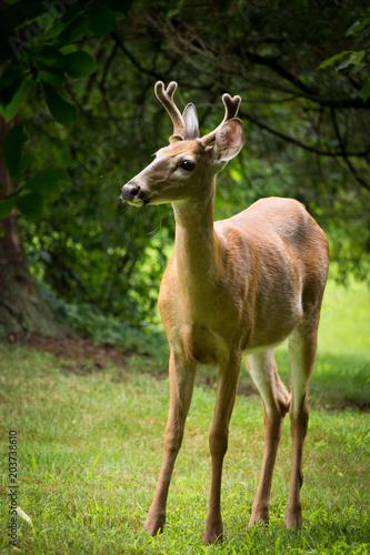 Fotobehang Hert young deer with antlers