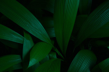 Green leaves plant series -  Artistic green Accordion leaves  colour tone dark in the morning.