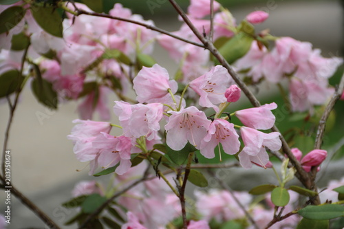 Plexiglas Azalea Rosa Azalee blüht