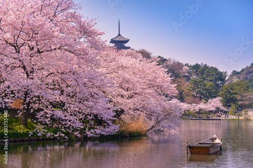 fototapeta na ścianę japan. Cherry blossom Sakura.