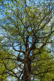 The huge old oak tree in spring with new leaves - view from below