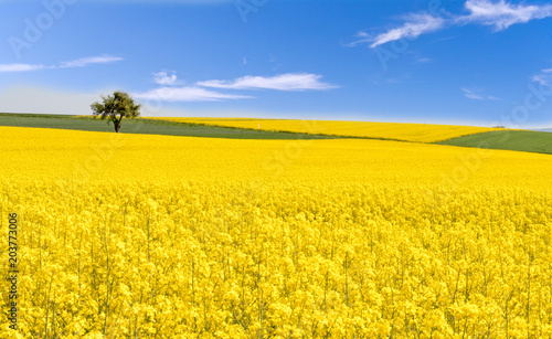 Fototapeta Farben des Frühlings: gelb und blau, Rapsfeld unter blauem Himmel :)