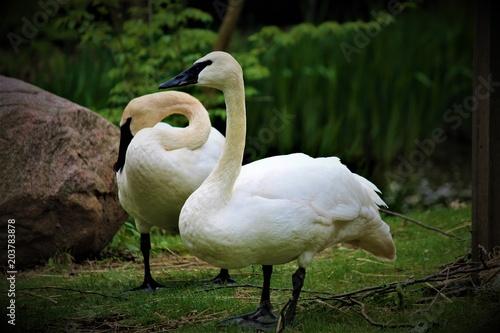 Plexiglas Zwaan White Swan Couple