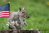 A patriotic gray squirrel (Sciurus carolinensis) stands near American Flag and smiles - 203784474