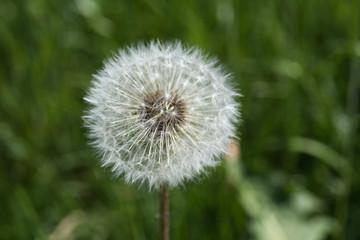 dandelion flower in nature, macro