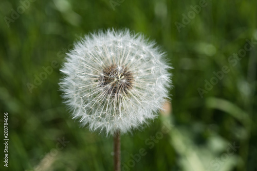 dandelion flower in nature, macro