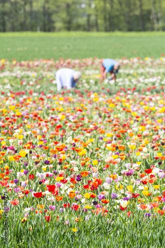 Plexiglas Tulpen Tulpenfeld im Frühling