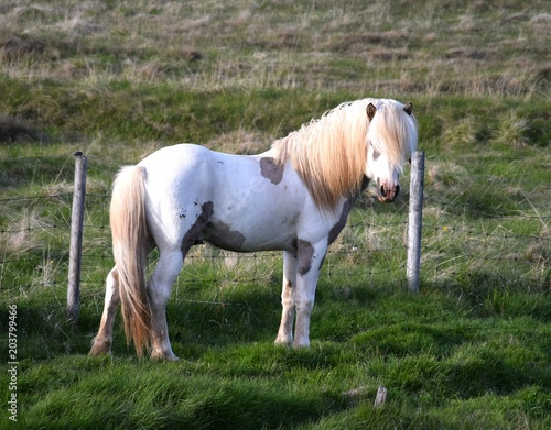 Beautiful Icelandic horse in the evening sun. Stallion. Pinto.