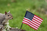 A patriotic gray squirrel (Sciurus carolinensis) stands near American Flag and smiles - 203800822