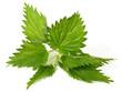 Brennnessel - Blätter
