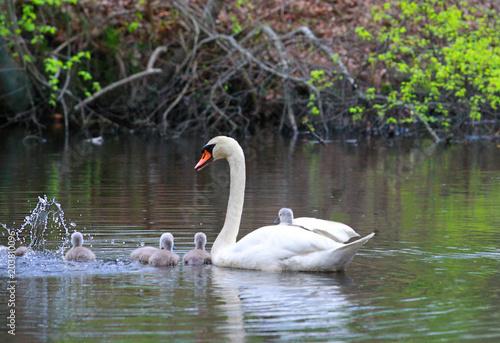 Plexiglas Zwaan Female Swan Carries Chicks Piggyback