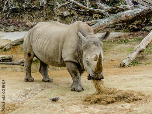 Fotobehang Neushoorn Northern White Rhino with large horn, Auckland Zoo, Auckland, New Zealand