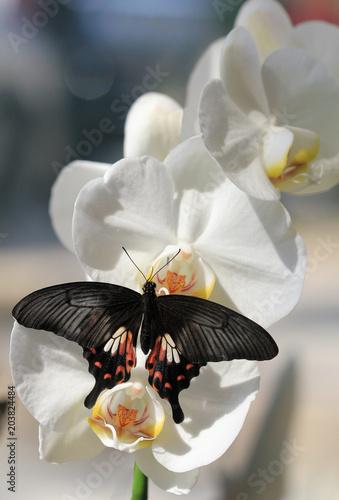 Plexiglas Vlinder Бабочка Pachliopta aristolochiae на цветах