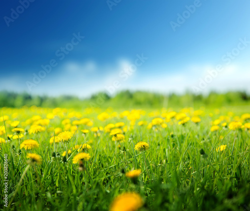 field of spring flowers and perfect sky - 203828640