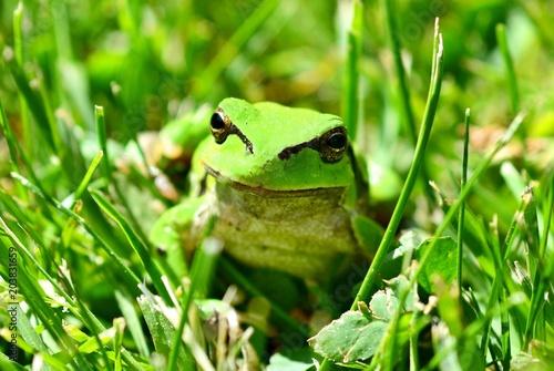 Plexiglas Kikker Green European Tree Frog (Hyla arborea) Sitting in Grass.