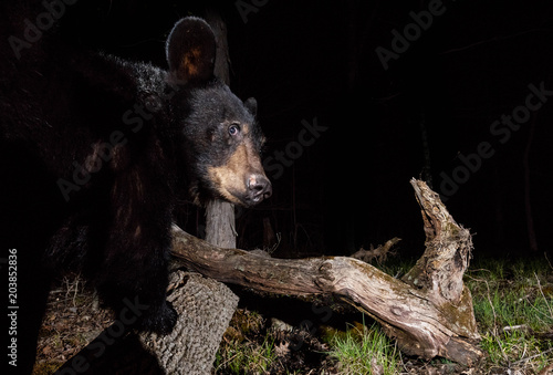 Plexiglas Wolf Black Bear at Night