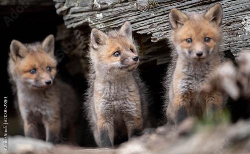 Fototapeta Red Fox Kits