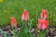 Tulipa Greigii Toronto