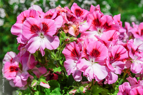 Fridge magnet spanish pink geraniums