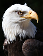 Close up of an American Bald Eagle with black background