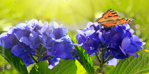 Plexiglas Hydrangea Orange butterfly on purple hydrangea.