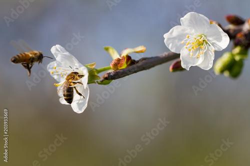 Fototapeta Blossom of cherry tree.