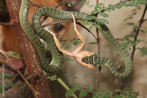 Plexiglas Kikker The green snake eat frog on tree at home.