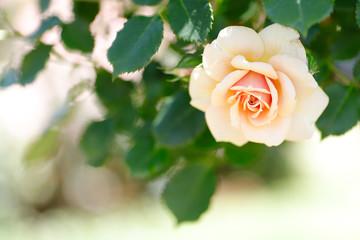 ベージュのバラ