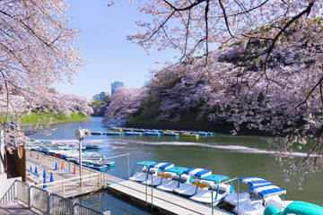 Chidorigafuchi park boat rental in Tokyo, Japan during Spring Cherry Blossom.