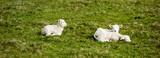 Lamm lämmchen auf wiese schafe schaf - 203962074