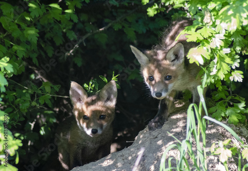 Fototapeta young, curious foxes next to the burrow