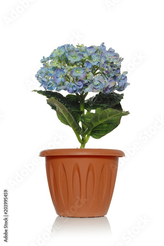 Plexiglas Hydrangea Beautiful hydrangea on a white background with blossoming flowers in a brown pot