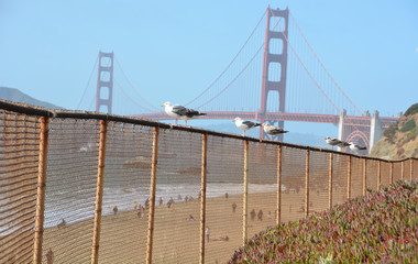 Beautiful seagull scene in front of golden gate bridge