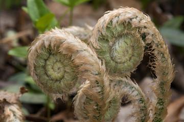 Fiddlehead fern close-up