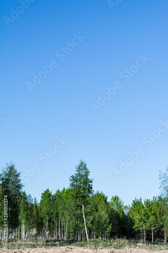 Aluminium Berkenbos the birch grove and clean spring blue sky, nature background