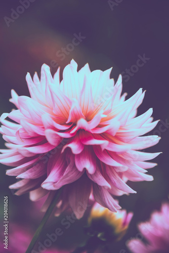background nature Flower dahlia pink. pink flowers. background blur