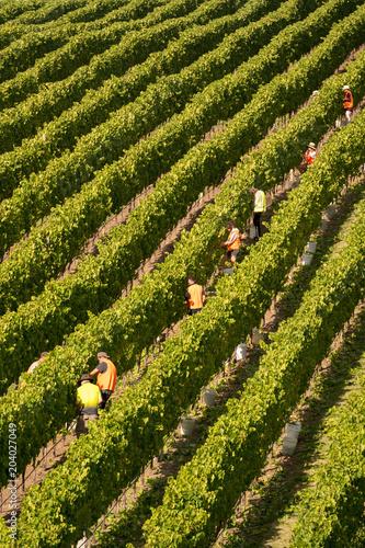 Fotobehang Wijngaard aerial view of Chardonnay Grape Harvesting