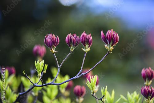 Fotobehang Azalea Azalea flowers blooming in the garden. Azaleas buds.