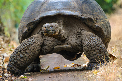 Aluminium Schildpad Giant tortoise in El Chato Tortoise Reserve, Galapagos islands, Ecuador