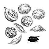 Nutmeg spice vector drawing. Ground seasoning nut sketch. Dried seeds and fresh mace fruits - 204057607