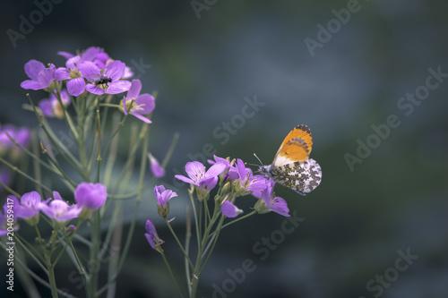 Plexiglas Vlinder Papillon Aurore / Anthocharis cardamines / Orange tip / Aurorafalter / Mariposa aurora