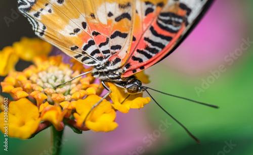 Plexiglas Vlinder Farfalla
