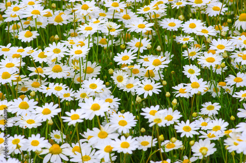 White camomiles on  field