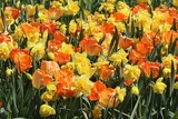 BEAUTIFUL YELLOW DAFFODILS AND ORANGE TULIPS
