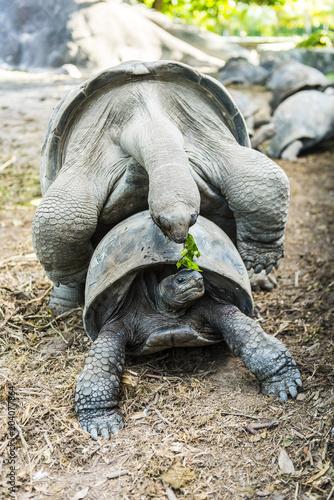 Aluminium Fyle Tortoises mating
