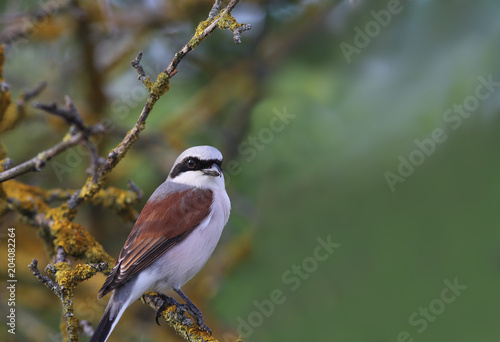 Portrait of a Shrike, which is sitting on a branch Poster