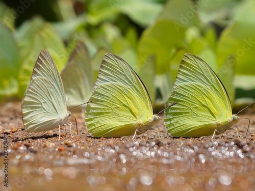 Plexiglas Vlinder Beautiful wild butterfly on the ground, Butterflies swarm eats minerals in Ban Krang Camp, Kaeng Krachan National Park in Thailand